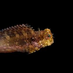 Salarias Fasciatus para acuario marino | Barcelona Reef