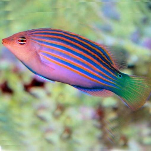 Pseudocheilinus Hexataenia para acuario marino   Barcelona Reef