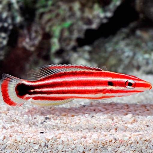 Bodianus Sepiacaudus para acuario marino | Barcelona Reef
