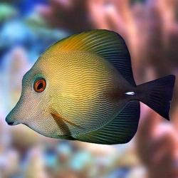 Zebrasoma Scopas M para acuario marino | Barcelona Reef
