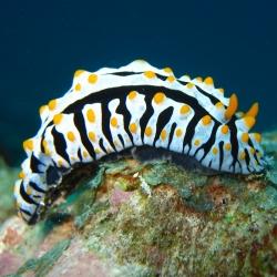 Phyllidia Varicosa para acuario marino | Barcelona Reef