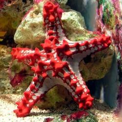 Protoreaster Linckii para acuario marino | Barcelona Reef