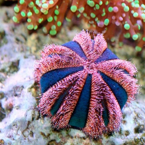 Mespilia Globulus para acuario marino | Barcelona Reef