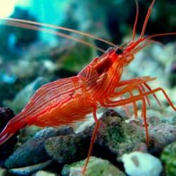 Lysmata Wudermani para acuario marino | Barcelona Reef
