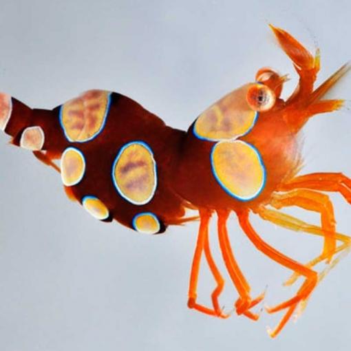 Thor Amboinensis para acuario marino | Barcelona Reef