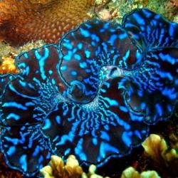 Tridacna Maxima Azul 15cm