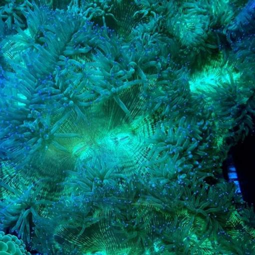 Catalaphyllia Jardinei Esqueje para acuario marino | Barcelona Reef