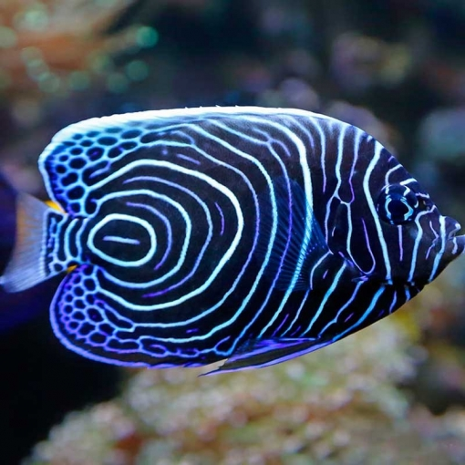 Pomacanthus Imperator L para acuario marino | Barcelona Reef