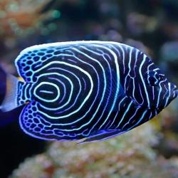 Pomacanthus  Imperator XXL para acuario marino | Barcelona Reef