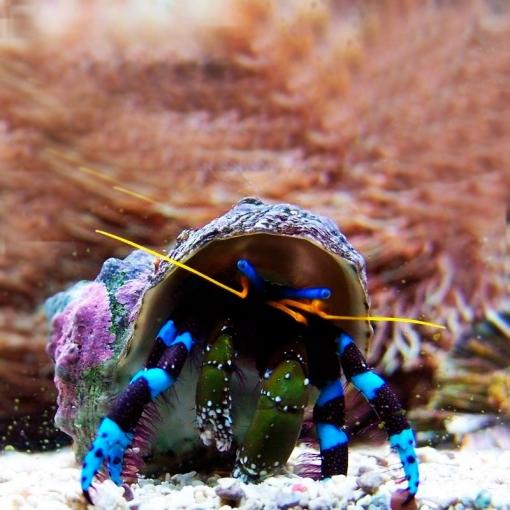 Clibanarius SPP para acuario marino | Barcelona Reef