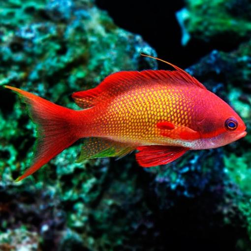 Pseudanthias Squamipinnis Macho para acuario marino | Barcelona Reef