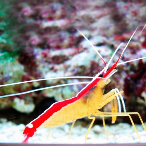 Lysmata Amboinensis Lg para acuario marino | Barcelona Reef