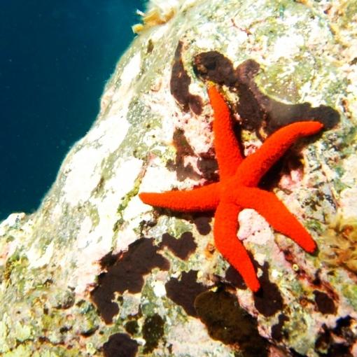 Echinaster Purpureus para acuario marino | Barcelona Reef