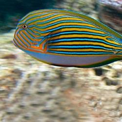 Comprar Acanthurus Lineatus S online en Barcelona Reef
