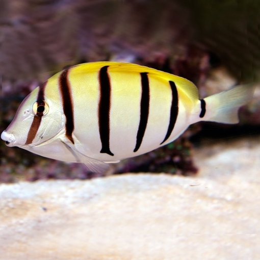 Acanthurus Triostegus S para acuario marino | Barcelona Reef