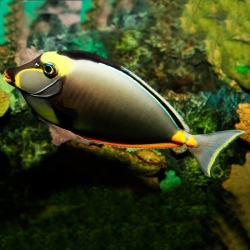 Naso Lituratus M para acuario marino | Barcelona Reef