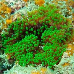Entacmaea Quadricolor para acuario marino | Barcelona Reef