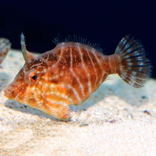 Acreichthys Tomentosus para acuario marino | Barcelona Reef