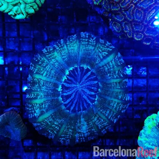 Cynarina Lacrimalis @1 para acuario marino | Barcelona Reef
