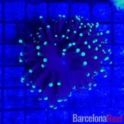 Favites @1 para acuario marino | Barcelona Reef