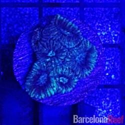 Favites @4 para acuario marino   Barcelona Reef