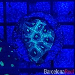 Comprar Favites @5 online en Barcelona Reef