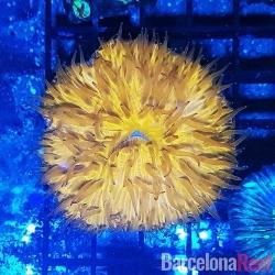 Fungia @1 para acuario marino | Barcelona Reef