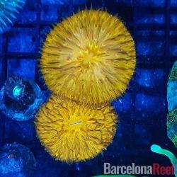 Fungia @2 para acuario marino | Barcelona Reef