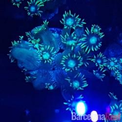 Comprar Goniopora verde @1 online en Barcelona Reef