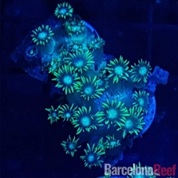 Comprar Goniopora verde @2 online en Barcelona Reef