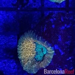 Comprar Frag de Lobophyllia @2 online en Barcelona Reef