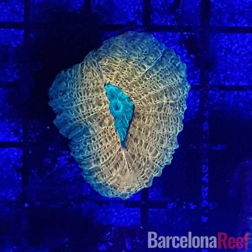 Frag de Lobophyllia @3 para acuario marino | Barcelona Reef