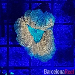 Comprar Frag de Lobophyllia @4 online en Barcelona Reef