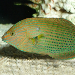 Halichoeres Marginatus L | Barcelona Reef