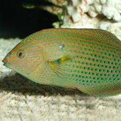 Comprar Halichoeres Marginatus online en Barcelona Reef