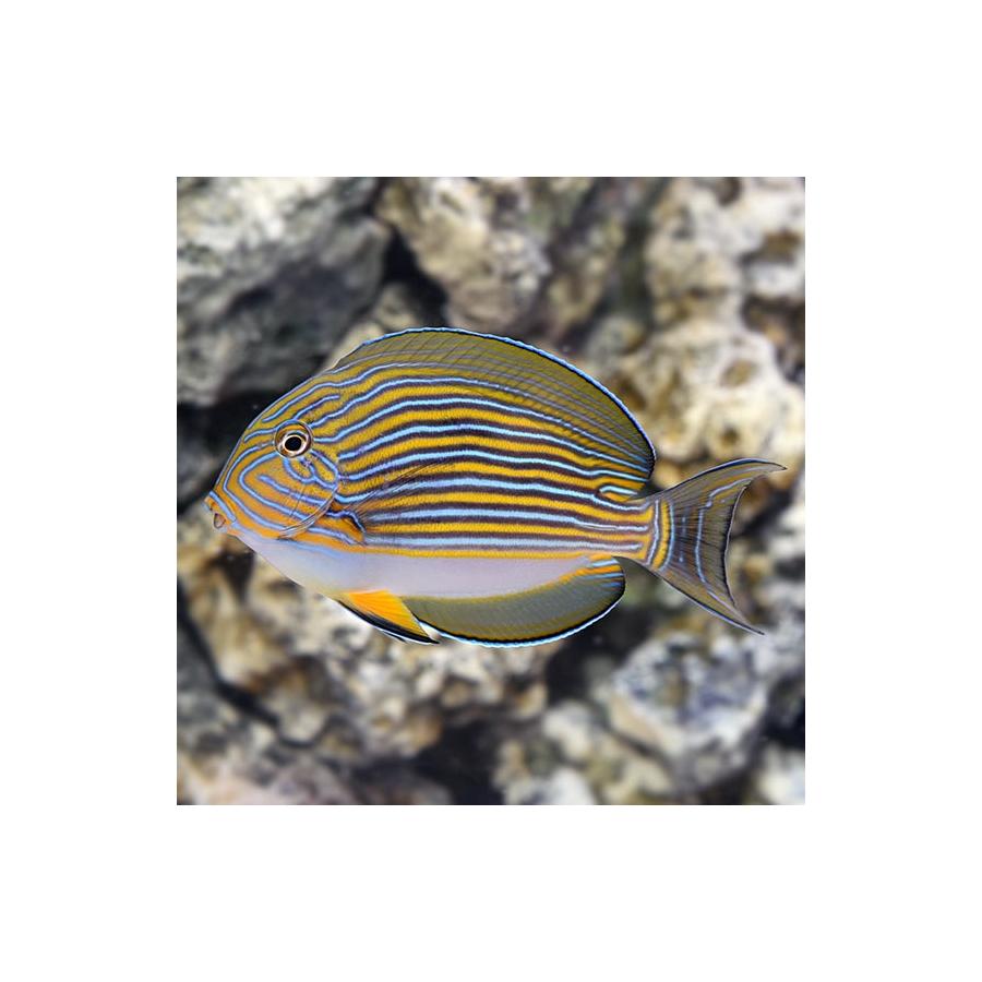 Acanthurus Lineatus LG