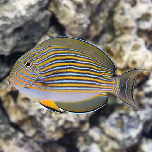 Acanthurus Lineatus LG para acuario marino | Barcelona Reef