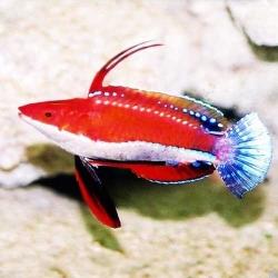 Comprar Cirrhilabrus Rubriventralis online en Barcelona Reef