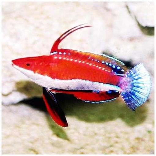 Cirrhilabrus Rubriventralis para acuario marino | Barcelona Reef