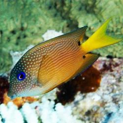 Comprar Ctenochaetus Binotatus S online en Barcelona Reef