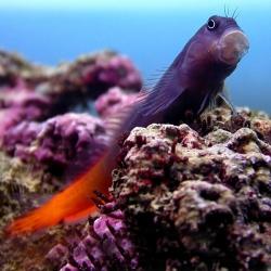 Comprar Ecsenius Bicolor online en Barcelona Reef