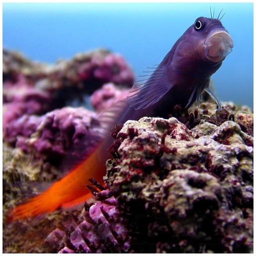 Ecsenius Bicolor para acuario marino | Barcelona Reef