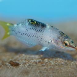 Comprar Halichoeres Hortulanus L online en Barcelona Reef