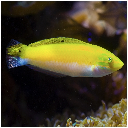 Halichoeres Trispilus para acuario marino | Barcelona Reef
