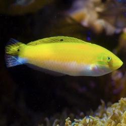 Halichoeres Trispilus para acuario marino   Barcelona Reef