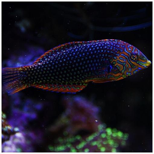 Macropharyngodon Ornatus para acuario marino | Barcelona Reef
