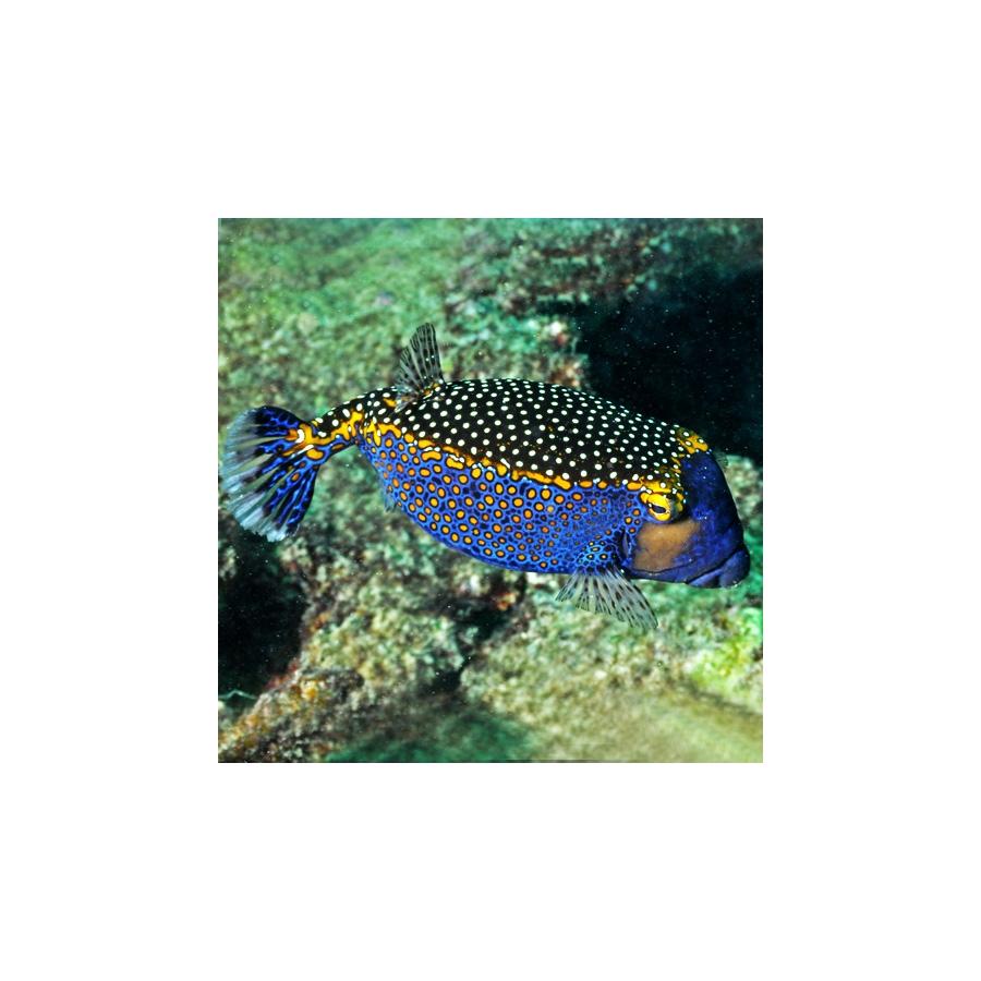 Ostracion Meleagris Macho