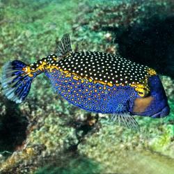 Comprar Ostracion Meleagris Macho online en Barcelona Reef