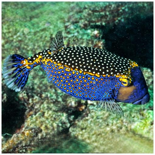 Ostracion Meleagris Macho para acuario marino | Barcelona Reef