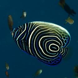 Comprar Pomacanthus Imperator Juvenil XL online en Barcelona Reef